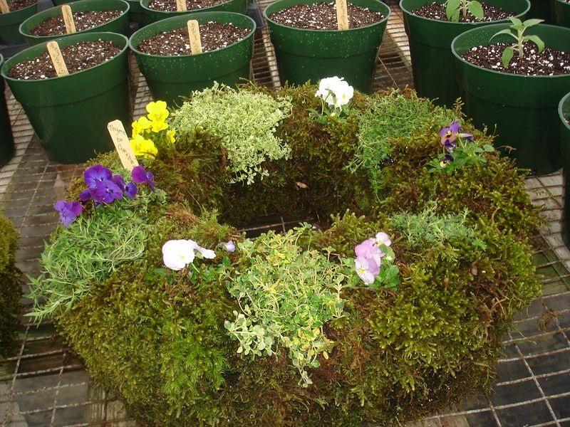 Thyme living wreath